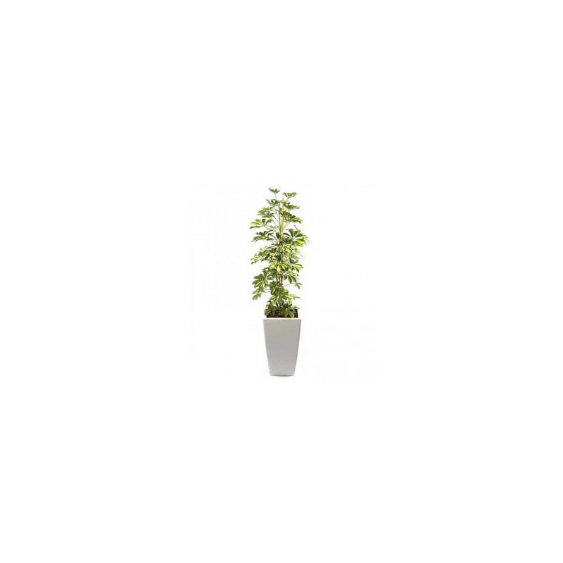Planta Artificial Schefflera