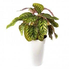Planta Artificial Dracaena Reflexa Jamaica Bicolor