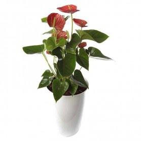 Planta Natural com Flor Antúrio Vermelho com 90 cm - Antúrio