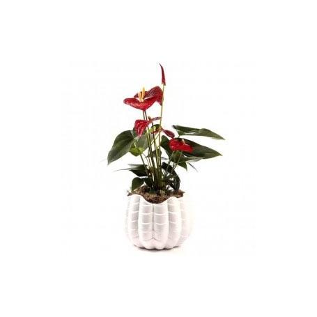 Planta interior natural e vaso em cerâmica - ANTÚRIO MADEIRA