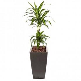 Planta natural Dracaena de 150cm com floreira - DRACAENA