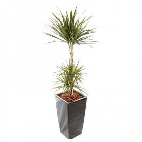 Planta Natural Dracaena Marginata com Vaso - Dracaena Marginata