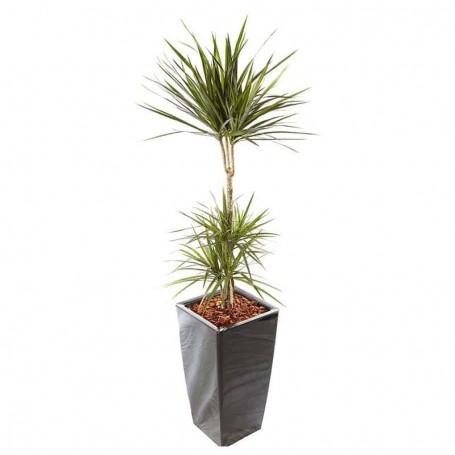Planta Natural Dracaena Marginata com Vaso - DRACAEMA MARGINATA