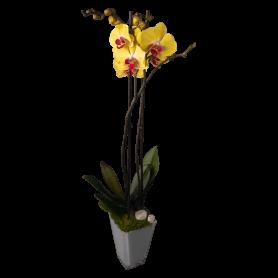 Orquídea Phanalopsis Amarela Envasada - Orquídea da Ternura