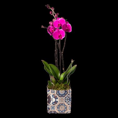Orquídea lisboa