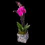 Orquídea cor de rosa